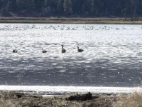 Canada geese swim with swans in a flooded field on the Running Y Ranch.