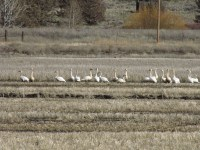 Swans in a cut wheat on the Running Y Ranch.