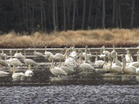 Swans gather in a flooded field at the Running Y Ranch.
