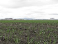 A young grain crop in a field in the Panhandle near Tule Lake, California.