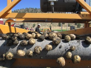 Chipping potatoes being unloaded and going into a storage shed at Gold Dust Potatoes' Malin, Oregon facility.