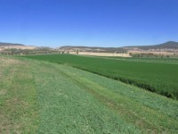 A fourth cutting of alfalfa hay waits to be cut and bailed in a hay field near Malin, OR.