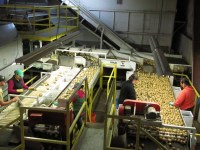 Four women manually sort chipping potatoes in Gold Dust Potato Processors' Malin, Oregon packing shed.