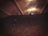 The children of Gold Dust office staff climb to the top of a hill of chipping potatoes at Gold Dust Potato Processors' cellar.