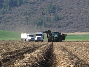 A potato truck joins a bulker and 10-wheeler in a chipping potato field on the Running Y Ranch.