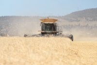 A combine cutting organic rye near Malin, Oregon.