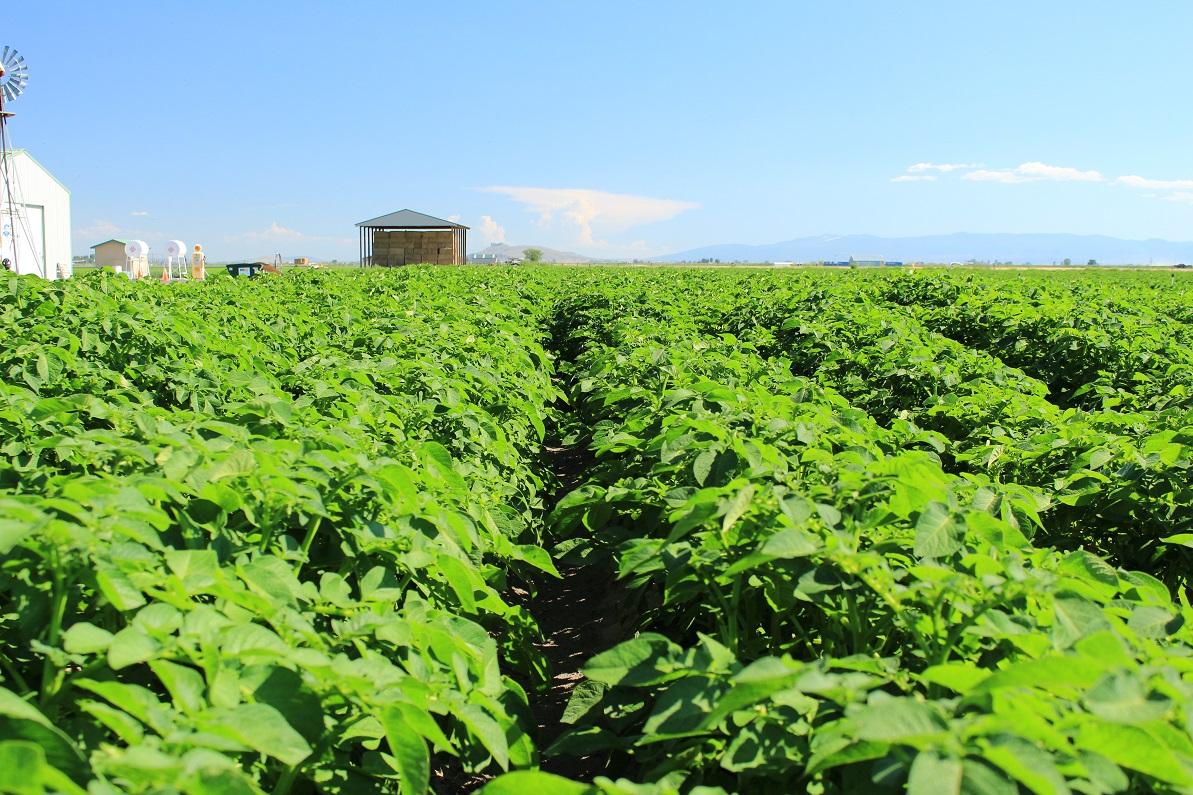 2016 07 04 Chipping Potato Field Malin Gold Dust