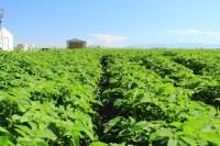 A chipping potato field south east of Malin, Oregon.