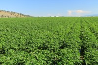 A chipping potato field located just north of Gold Dust's campus outside of Malin, OR.