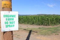 A photo of an organic corn field grown by Walker Brothers on the Running Y Ranch near Klamath Falls, OR.