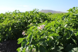A Lamoka potato plant flower in a field near Newell, CA.
