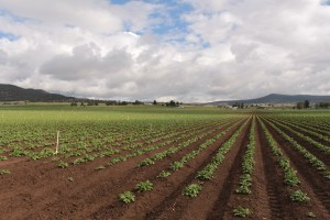 A chipping potato field with potato plants sprouting near Malin, OR.