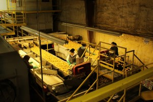 A photograph of Gold Dust's sorting crew in the Malin, Oregon chipping potato processing plant.