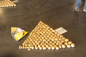 Lays potato chips next to a sample of 1867 chipping potatoes in Gold Dust Potatoes' packing shed for the 2018 Open House Field Day.