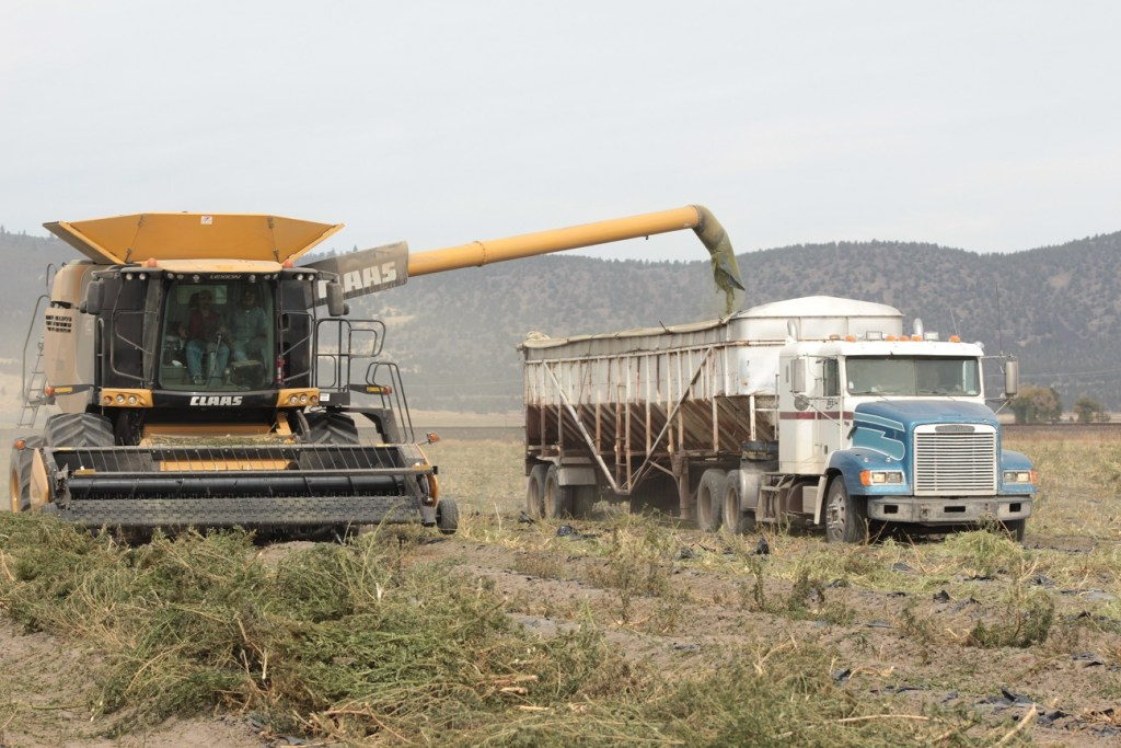 A Walker Farms combine harvesting industrial hemp near Merrill, Oregon.