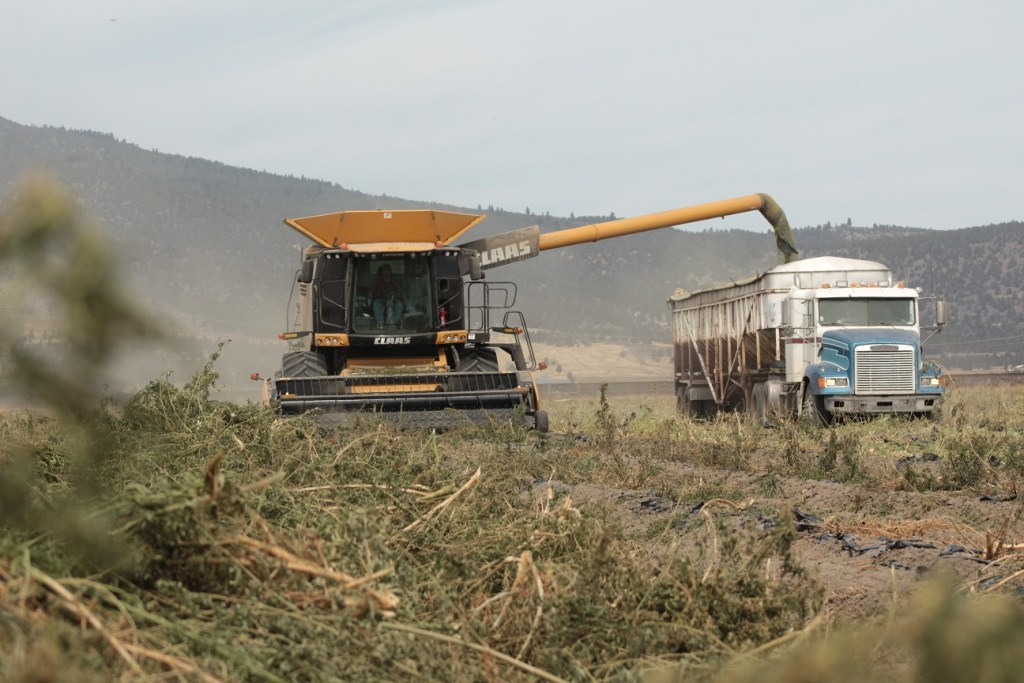 A photo of a combine operated by Walker Farms filling a truck with industrial hemp outside of Merrill, in Southern Oregon.