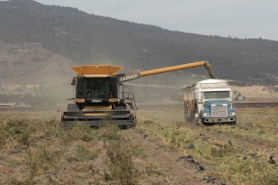 A combine fitted to harvest hemp cutting hemp biomass and filling a truck.