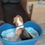 Golden-Daylight-Beagle P-Wurf 2. Woche 01