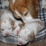 Golden-Daylight-Beagle P-Wurf 2. Woche 10
