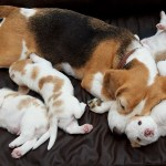 Golden-Daylight-Beagle P-Wurf 3. Woche 02