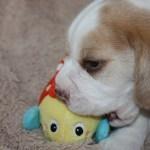 Golden-Daylight-Beagle P-Wurf 4. Woche 03