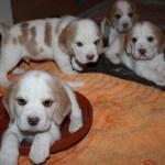 Golden-Daylight-Beagle P-Wurf 4. Woche 08