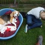 Golden-Daylight-Beagle P-Wurf 4. Woche 13