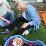 Golden-Daylight-Beagle P-Wurf Woche 19