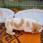 Golden-Daylight-Beagle P-Wurf Woche 24