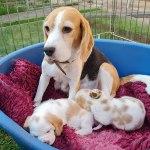 Golden-Daylight-Beagle P-Wurf Woche 27