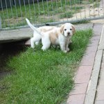 Golden-Daylight-Beagle P-Wurf 5. Woche 03