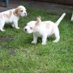 Golden-Daylight-Beagle P-Wurf 5. Woche 06