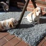 Golden-Daylight-Beagle P-Wurf 5. Woche 12