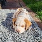 Golden-Daylight-Beagle P-Wurf 6. Woche 07