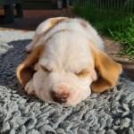 Golden-Daylight-Beagle P-Wurf 6. Woche 13