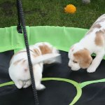 Golden-Daylight-Beagle P-Wurf 6. Woche 24