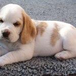 Golden-Daylight-Beagle P-Wurf 6. Woche 27