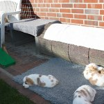 Golden-Daylight-Beagle P-Wurf 6. Woche 31