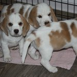 Golden Daylight Beagle P-Wurf 7. Woche 02