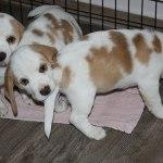 Golden Daylight Beagle P-Wurf 7. Woche 03