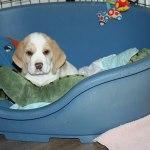 Golden Daylight Beagle P-Wurf 7. Woche 05