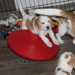 Golden Daylight Beagle P-Wurf 7. Woche 09