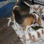 Golden Daylight Beagle P-Wurf 7. Woche 11