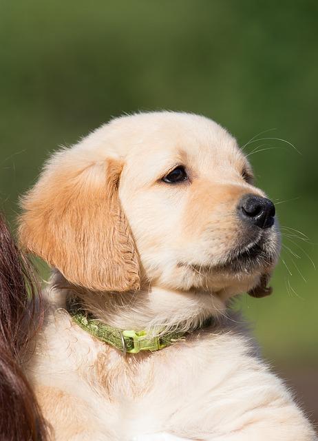 Questions for golden retriever breeders