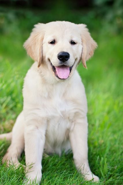 Questions for golden retriever breeders