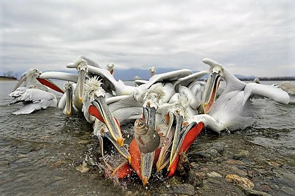 Pelicans Battle for Food