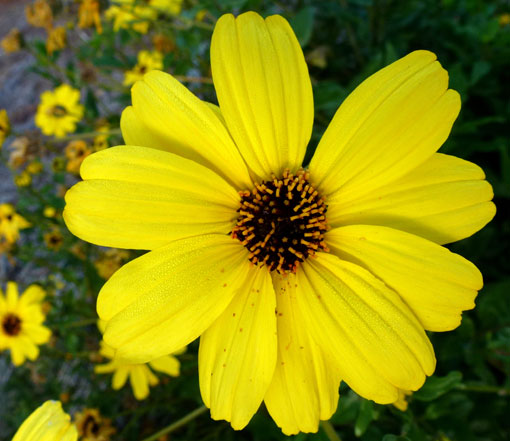 Encelia californica-Bush Sunflower