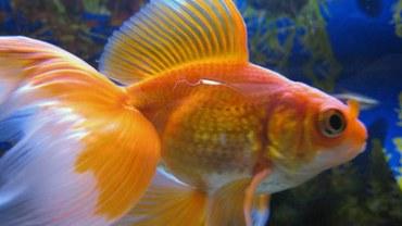 veiltail goldfish