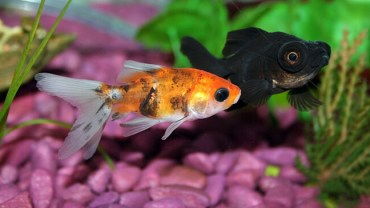 Goldfish Behaviors And What They Mean