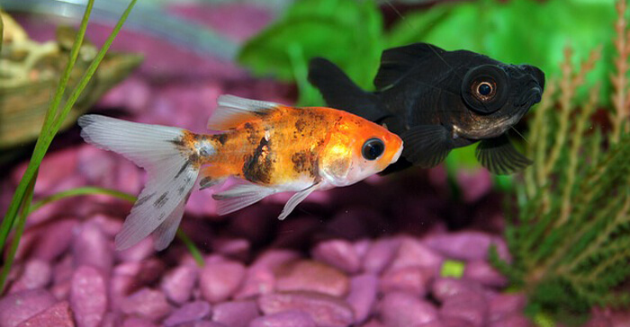 goldfish behavior